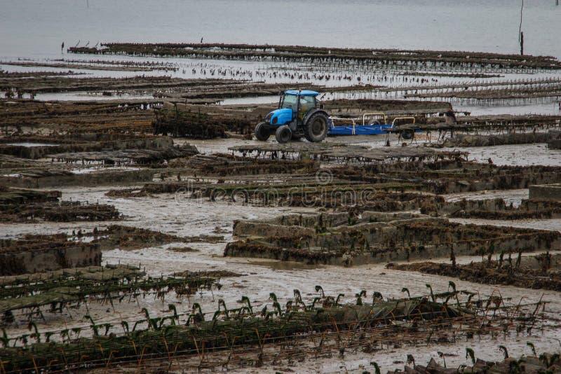 Kelst海的岸的一个海洋牡蛎农场和沿行的蓝色拖拉机工作用牡蛎在诺曼底,法国 免版税库存照片