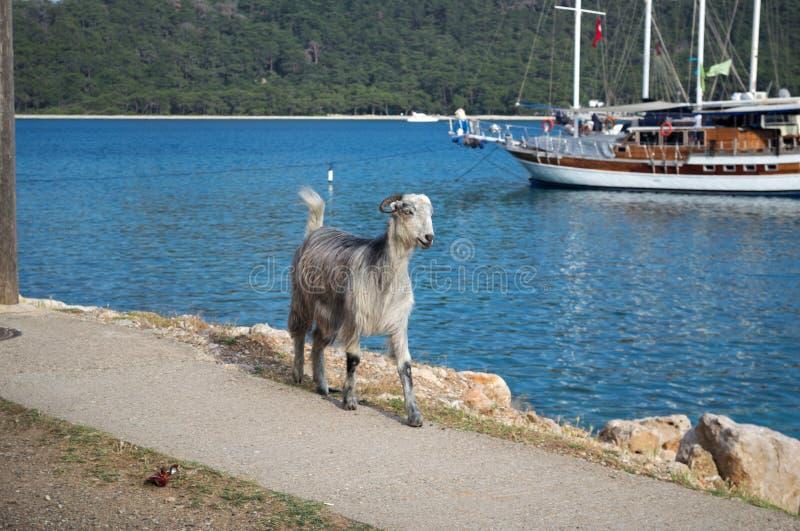 KEMER, TURQUIE - 7 MAI 2018 : la chèvre à cornes est sur le chemin côtier photo stock