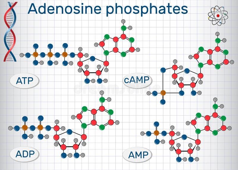 Kemiska för Adenosinefosfater för strukturella formler nucleotides: vektor illustrationer