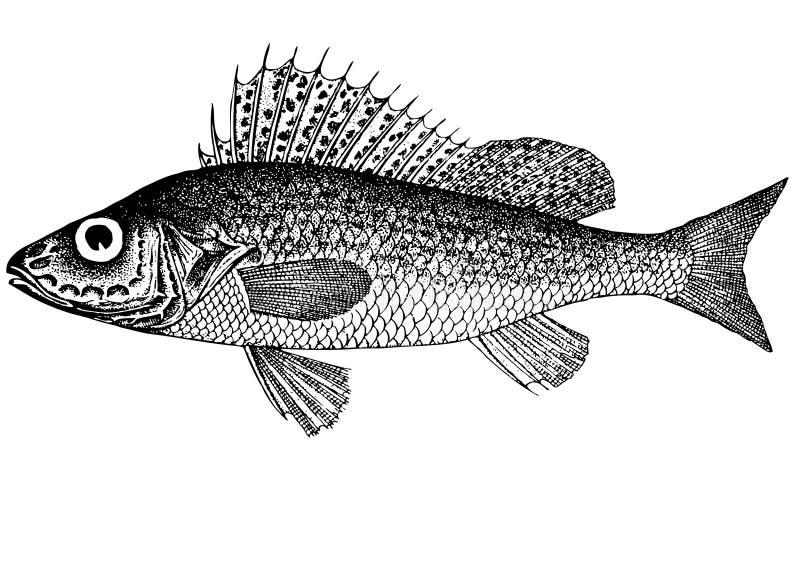 Kemphaan ((Latijnse) cernua Acerina) royalty-vrije illustratie
