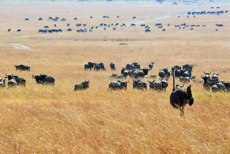 Kenia, Masai Mara royalty-vrije stock afbeelding