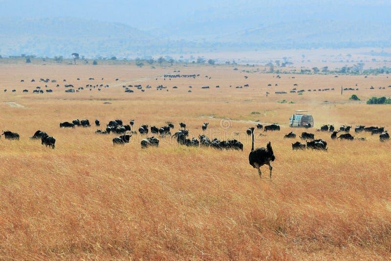 Kenia, Masai Mara stock fotografie