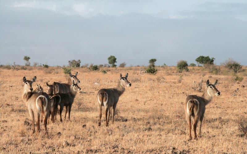Kenia, Tsavo-het Oosten - Antilope in hun reserve royalty-vrije stock afbeelding