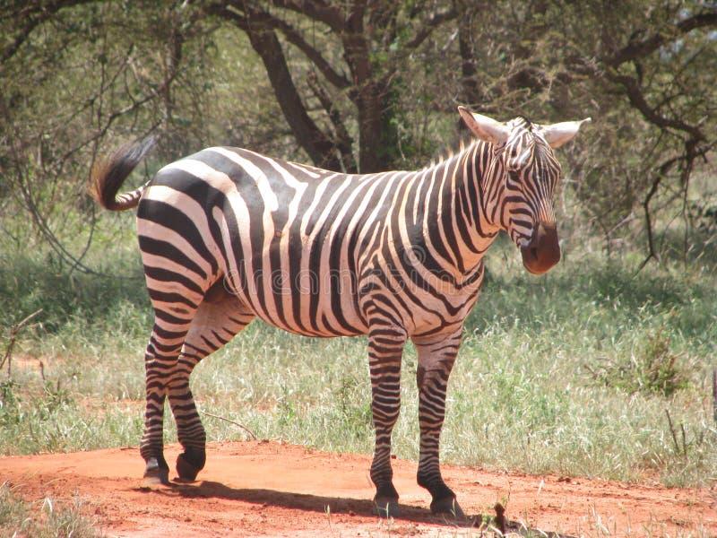 Keniya-safari Zebra immagini stock