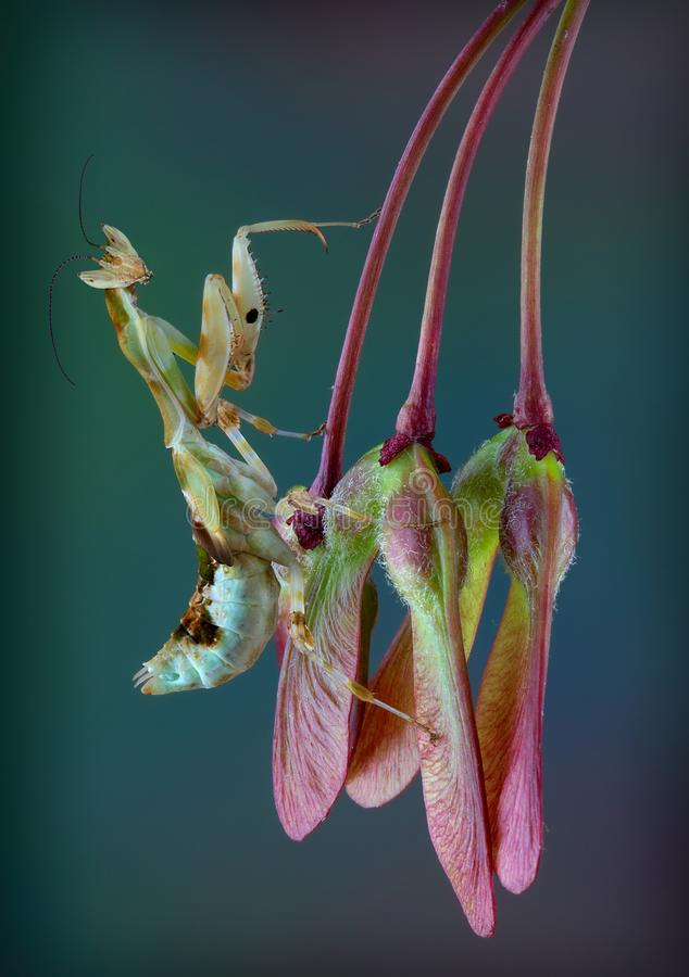 Kenja kwiatu modliszka na nasieniodajnych strąkach obrazy stock
