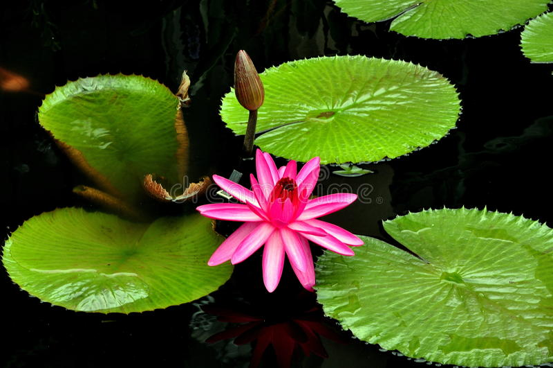 Download Kennett Quadrat, PA: Seerose An Longwood Gärten Stockfoto   Bild  Von