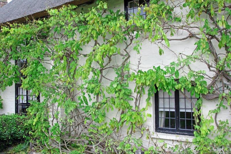 Kent cottage vine tree royalty free stock image