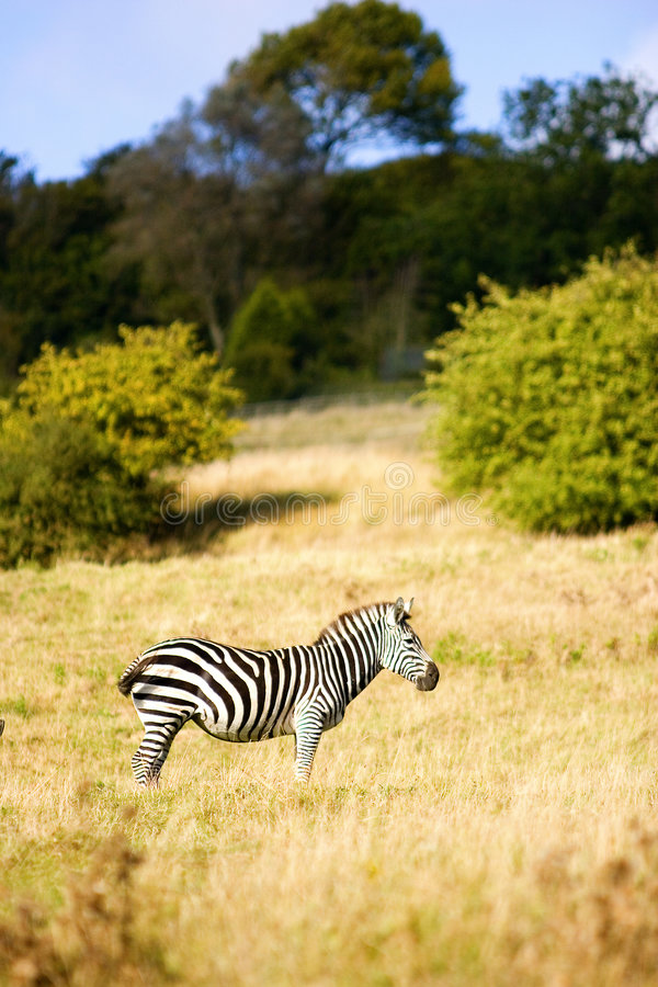 kent safarisebra arkivfoton
