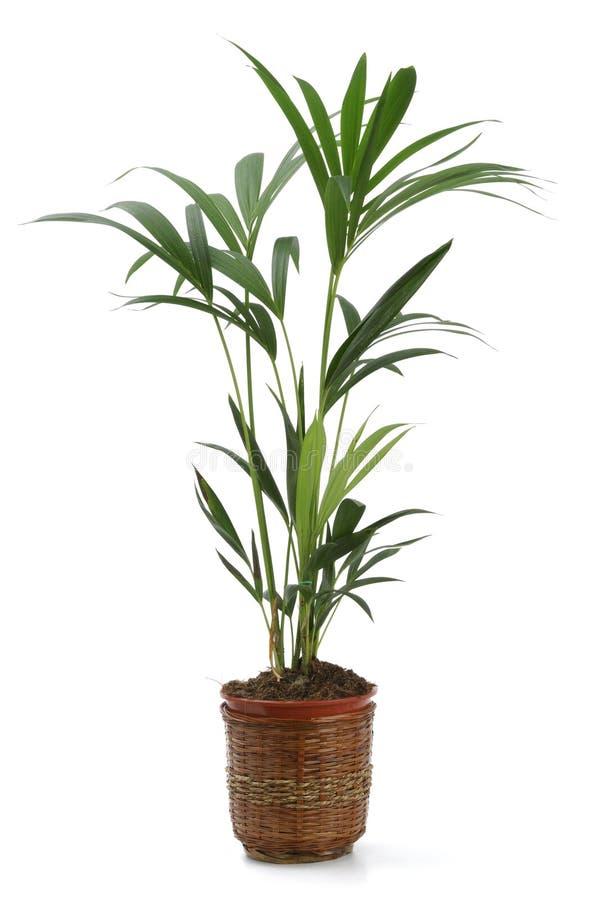 Kentia da planta decorativa fotografia de stock