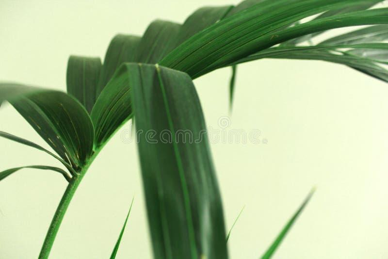 Kentia-Palmblätter auf grünem Hintergrund lizenzfreies stockfoto