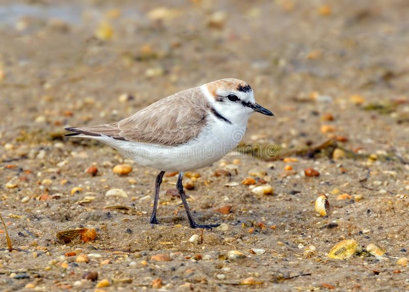 Kentish Plover - Charadrius alexandrinus, Ria Formosa Natural Park, Algarve, Portugal. A male Kentish Plover in summer plumage - Charadrius alexandrinus, at the royalty free stock images