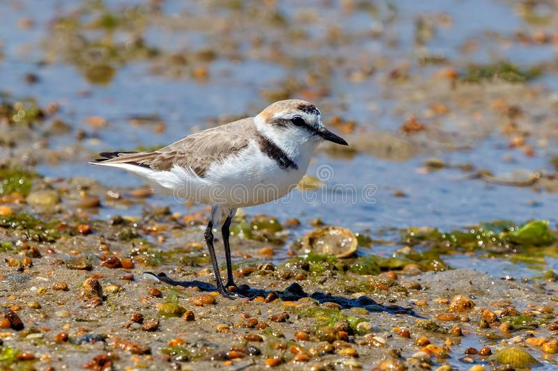 Kentish Plover Male - Charadrius alexandrinus on the Ria Formosa in Portugal. A male Kentish Plover - Charadrius alexandrinus, a small wader, on the Ria Formosa stock images