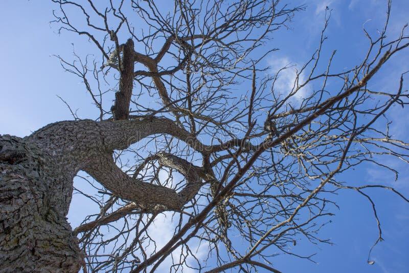 Kentucky-Kaffeebaum Gymnocladus dioicus im Spätwinter am Arnold-Arboretum stockfotografie