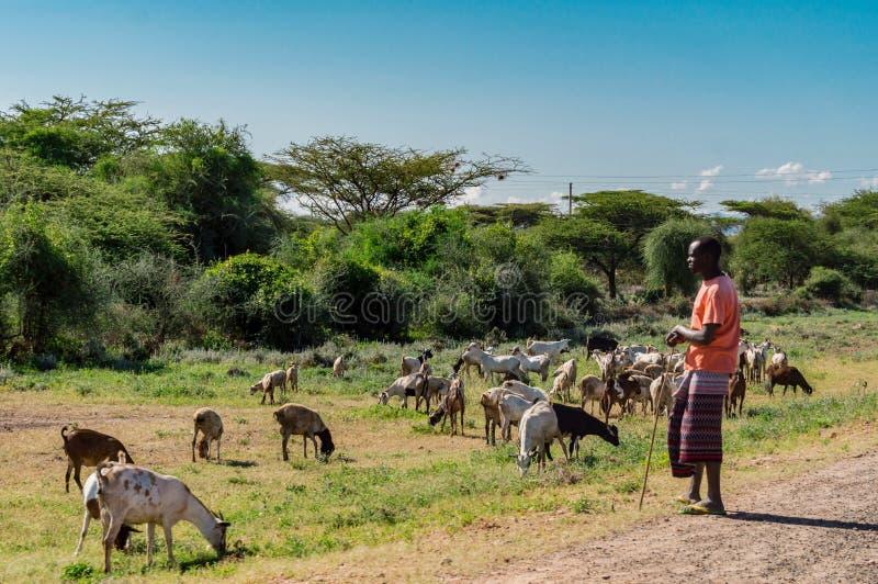 kenya 2019 anos 2 mais janvier Pastora do Masai com cabras imagem de stock royalty free