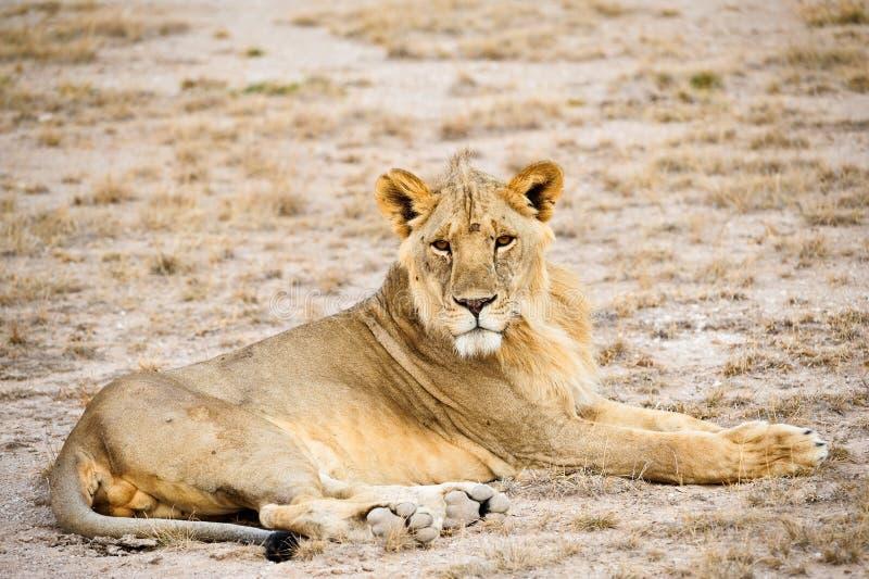 kenya lionmara masai arkivfoto