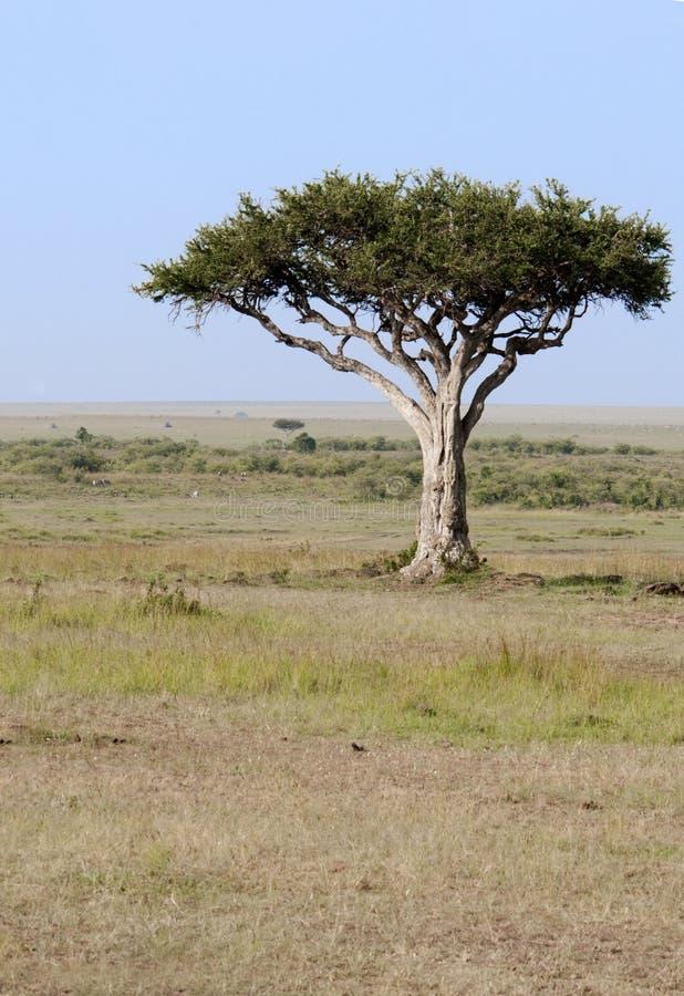 kenya lone mara tree royaltyfri foto