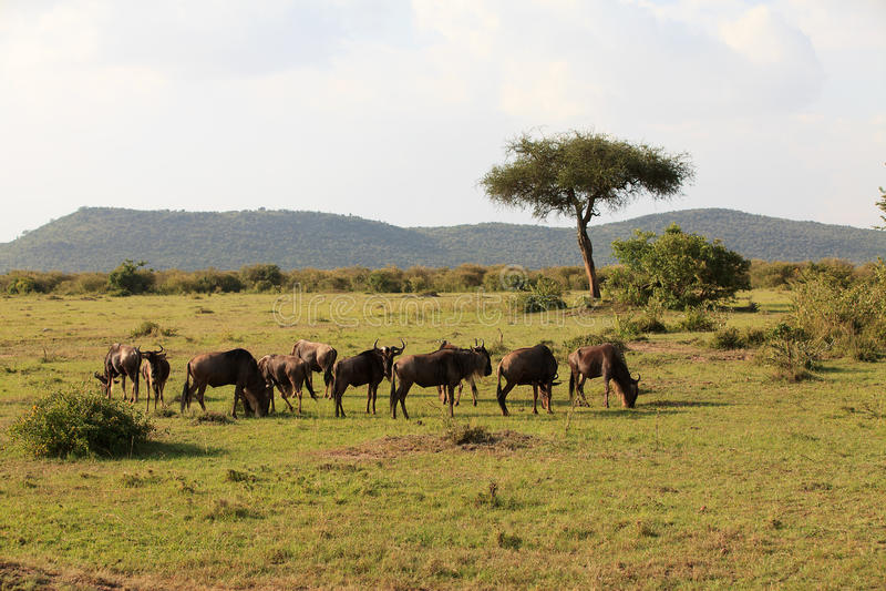 kenya Mara masai wildebeest fotografia stock