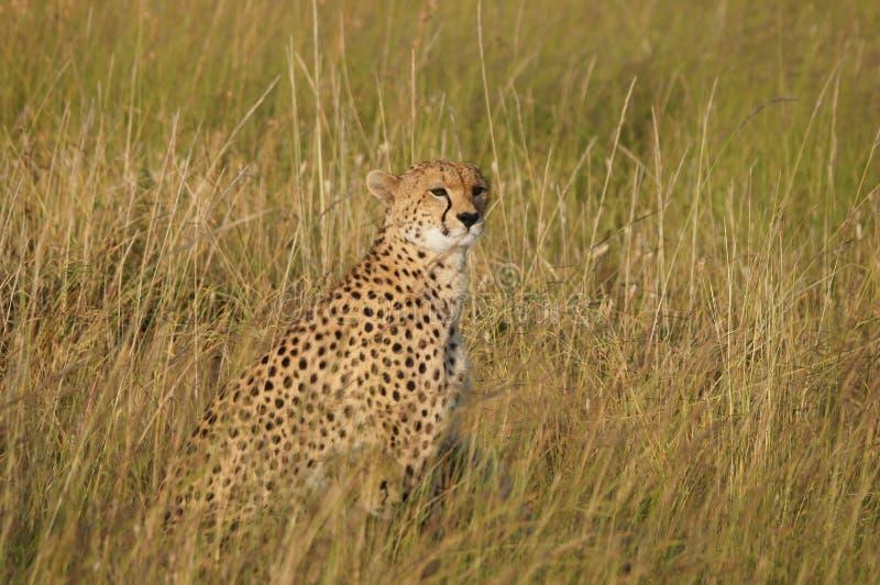 Kenya Masai Mara Chita fotografering för bildbyråer