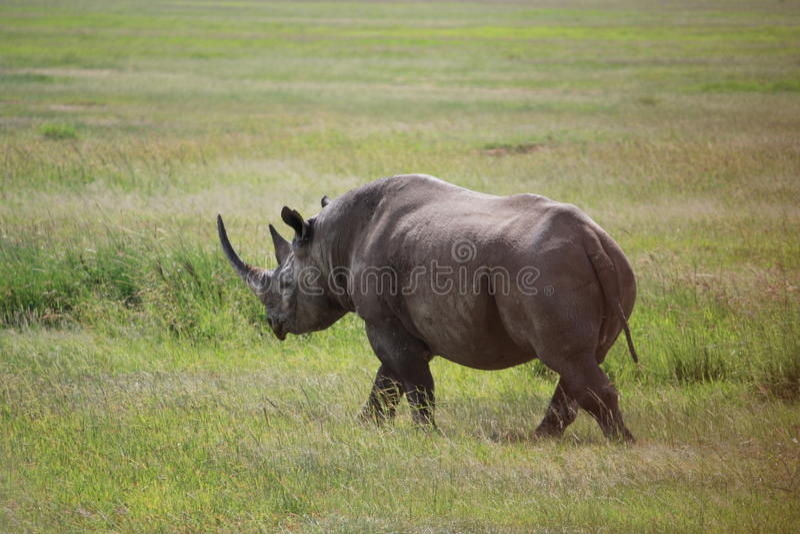 kenya noshörning royaltyfri foto