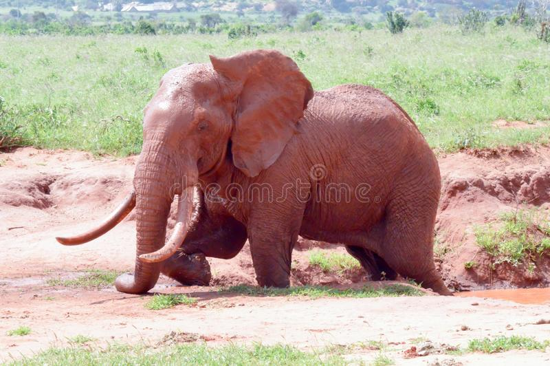 Download Kenya`s Red Elephant Stock Photo - Image: 83708708