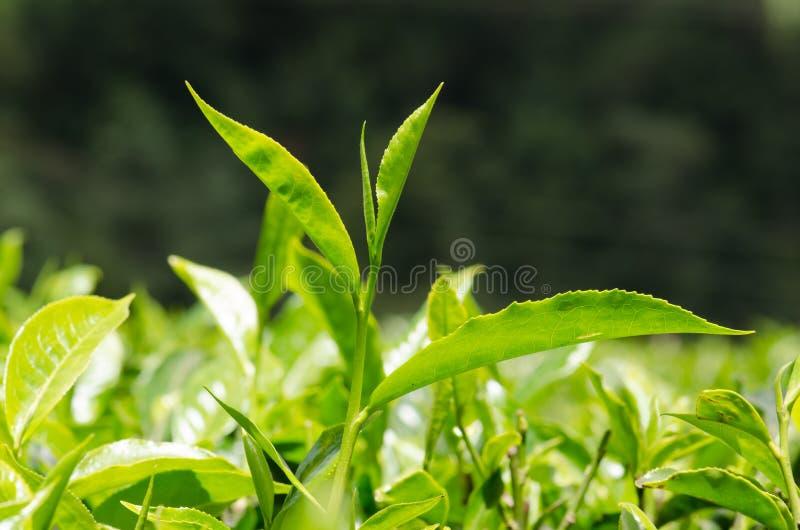 Kenyan Black Tea brota o crescimento em uma planta de chá em uma plantação nas montanhas de Kisii de Kenya fotografia de stock royalty free