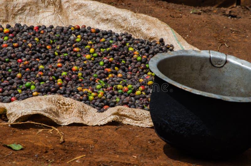 Kenyan Coffee uttorkning i solen royaltyfri foto