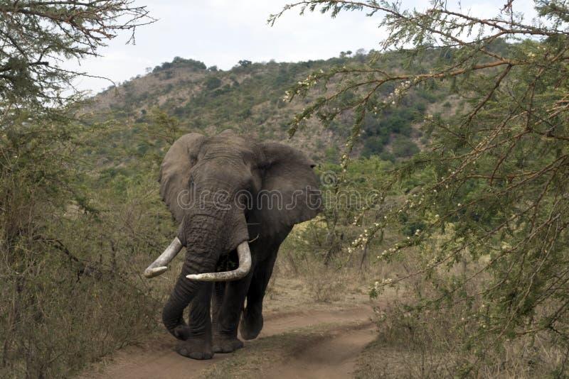 Kenyan-Elefant lizenzfreie stockfotografie