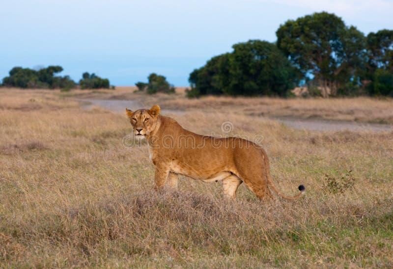 Download Kenyan Lion stock photo. Image of rhino, camp, amboseli - 26471766