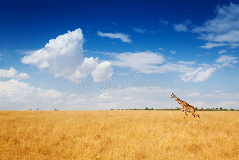 Kenyan savanna with giraffe walking in dried grass stock photo