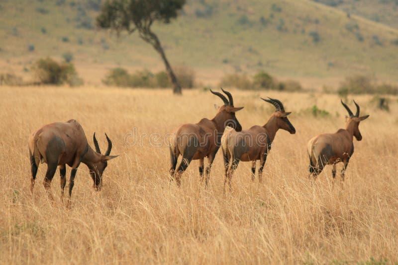 Kenyan Wildlife royalty free stock photography