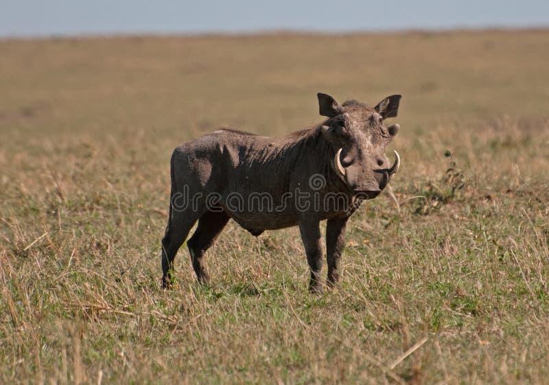 kenyanwarthog arkivbild