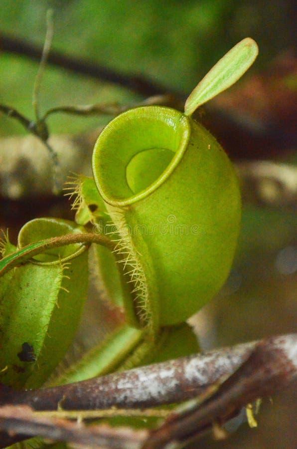 Kerachut-Kannenpflanze stockfotografie