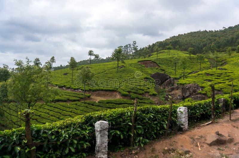 Kerala Indien loppbakgrund - panorama av kolonier för grönt te royaltyfria bilder