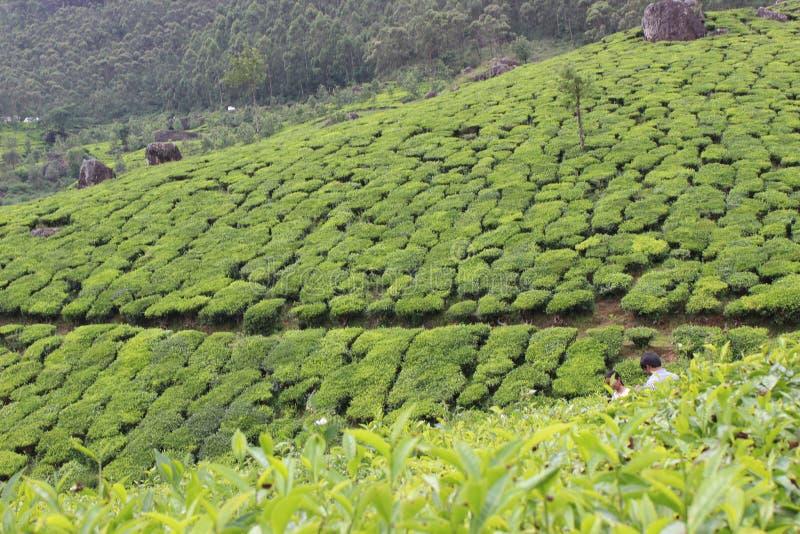 Kerala munnar tea estate stock photography