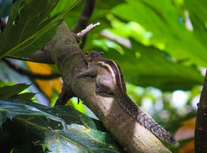 Kerala wiewiórka zdjęcia stock