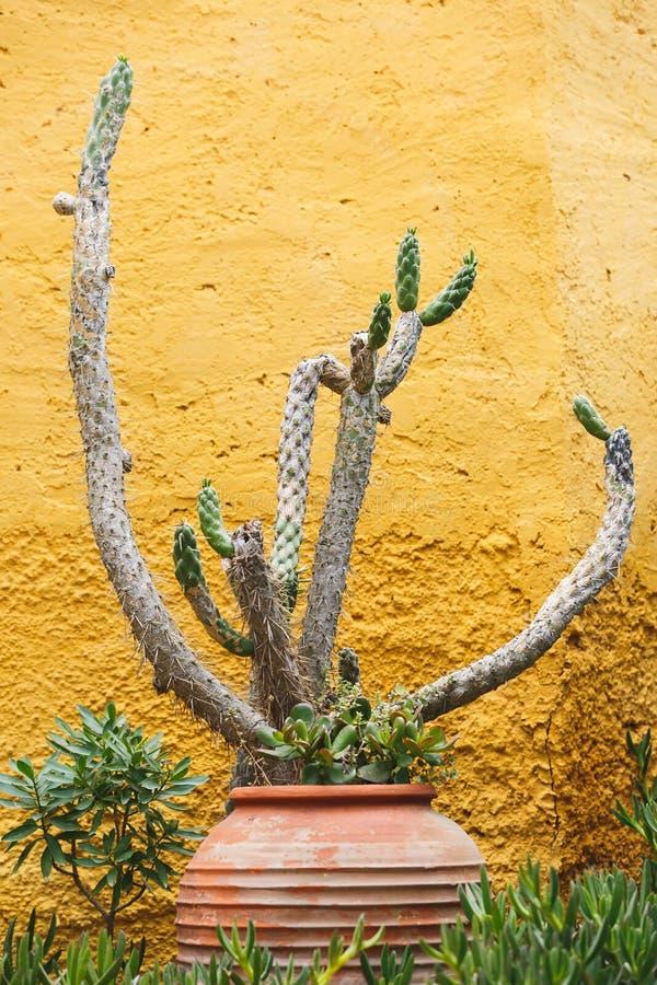 Keramikkrukväxt och en enorm kaktus på en lantlig gul väggbakgrund royaltyfria bilder