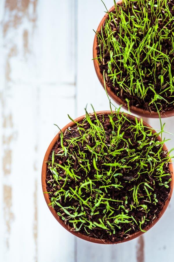 Keramisk kruka med nytt vårgräs arkivbilder