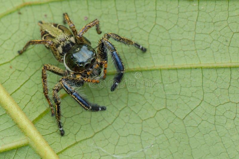 Keratodes maschii del primo piano di vista superiore del saltatore di un Hyllus del ragno fotografia stock