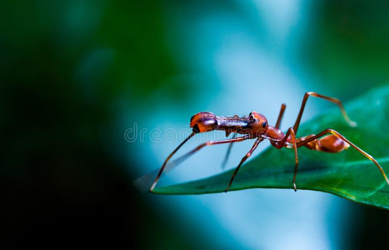 Kerengga象蚂蚁的套头衫或Myrmaplata plataleoides 免版税图库摄影
