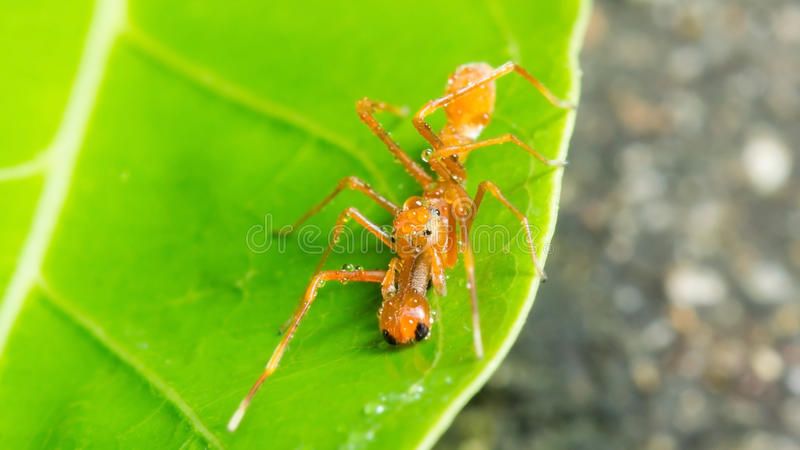 Kerengga ant like jumper stock image