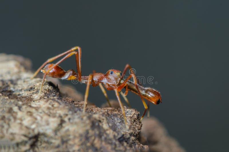 Kerengga ant-like jumper. Kerengga ant-like jumper or Myrmarachne plataleoides, the beautiful spider look like Red ant royalty free stock image