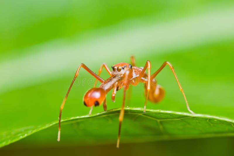 Kerengga ant-like jumper spider royalty free stock photos