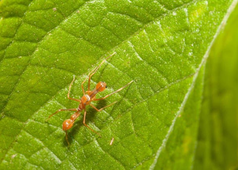 Kerengga ant-like jumper spider stock photography