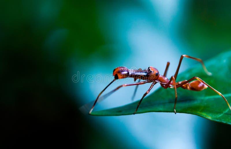 Kerengga mier-als verbindingsdraad of Myrmaplata plataleoides royalty-vrije stock fotografie