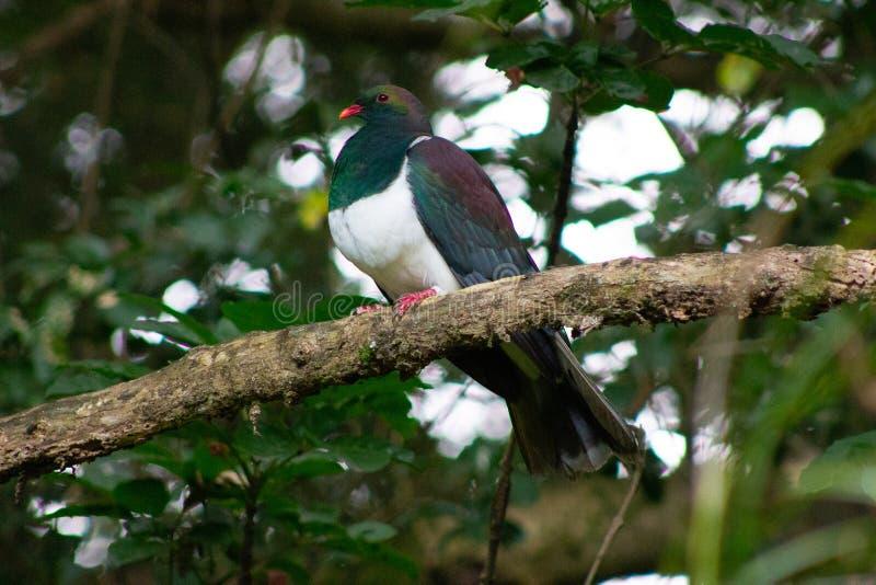 Kereru gołąb Nowa Zelandia ochraniał ptaka fotografia stock