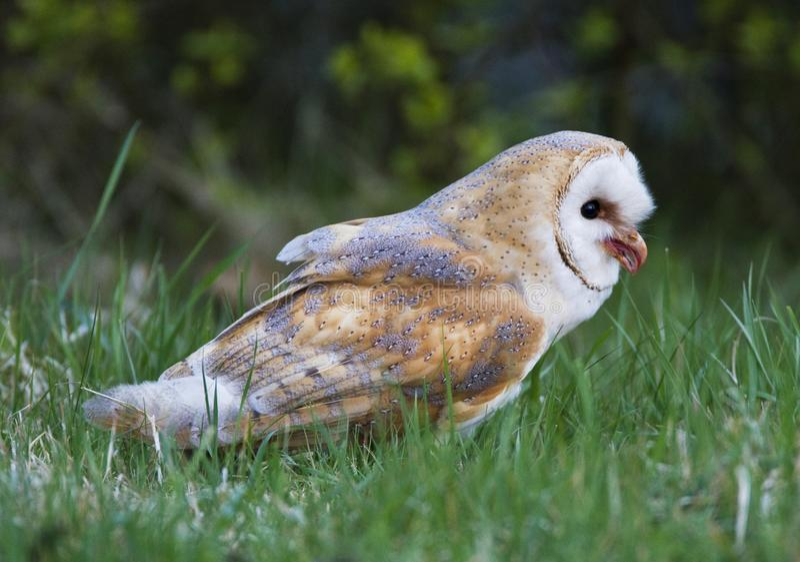 Kerkuil, lechuza común, Tyto alba imagen de archivo