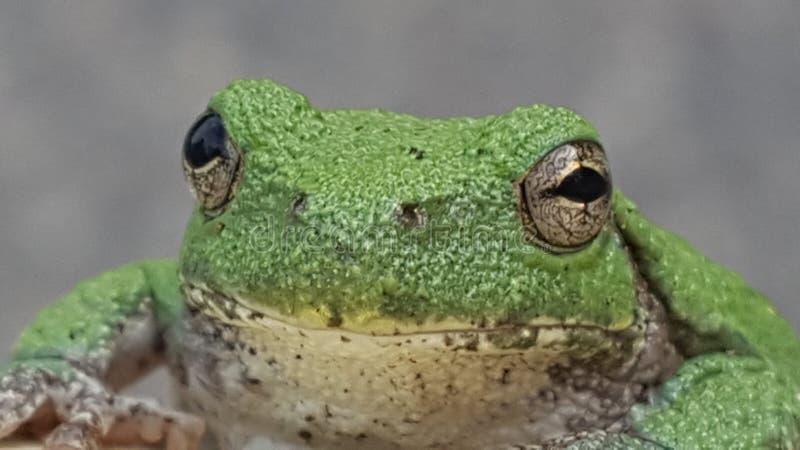 Kermit żaba obraz royalty free