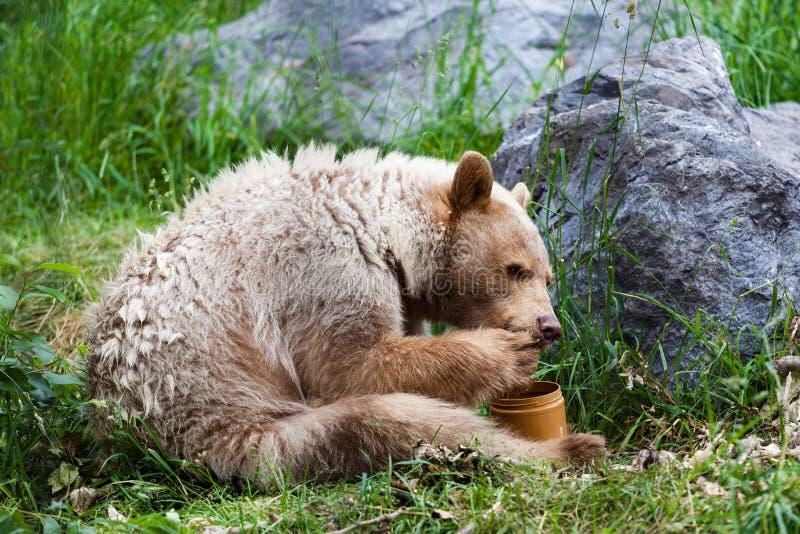 Kermode (ande) björn som äter honung arkivfoto