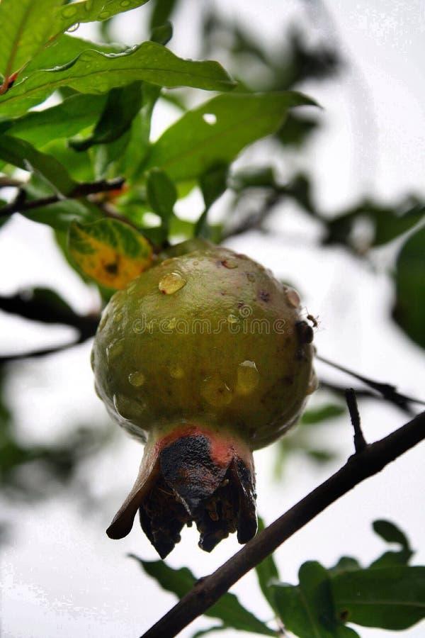 Kernfruchtgranat friut stockfoto