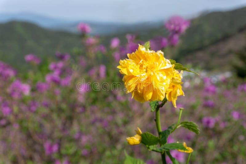 Kerria japonica,金黄黄色花在山坡开花在Hwangmaesan国家公园 免版税库存图片